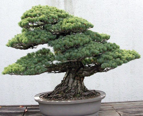 Japanese White Pine {pinus parviflora} training date unk. | by Drew Avery
