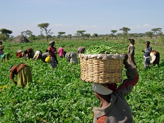 Harvesting beans | by USAID Africa