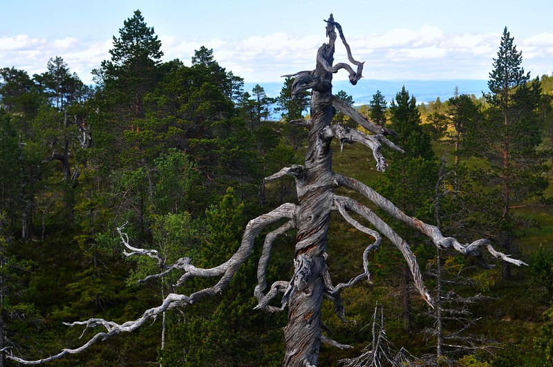 Dead pinetree