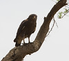 Western Banded Snake-Eagle, drive to Murchison, 16 Mar 2011 by michaelandhelencox