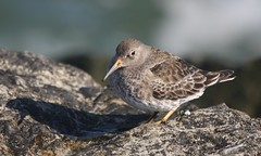 Purple Sandpiper, Barnegat Light, NJ