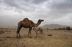 Camels against a stormy sky