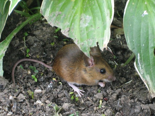 Little mouse under a Hosta in our garden | by elshepmcr