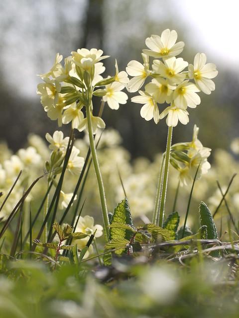 Schlüsselblume, Oxlip, Spring Flower, Frühling, Blume, Blüte