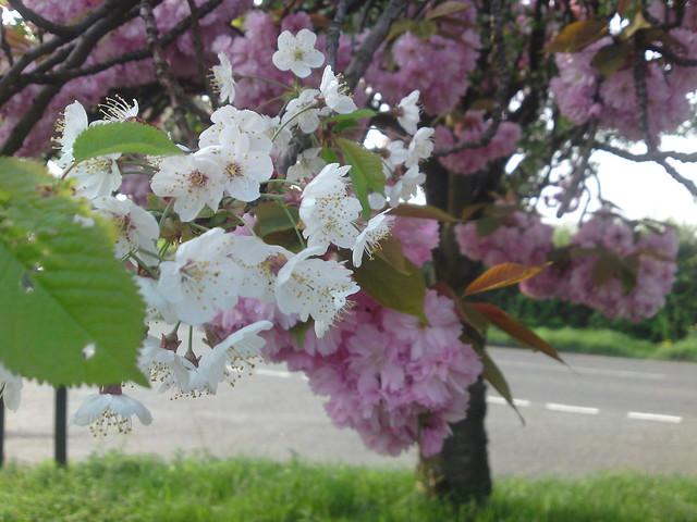 dsc00663 - Mixed Blossom