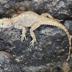 Lizard, near Sokulu spring, Demirkazık