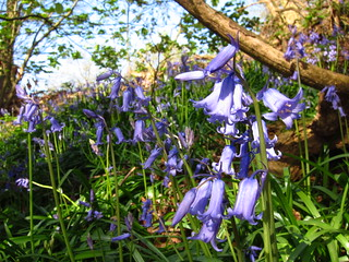 Bluebells on Hampstead Heath | by Laura Nolte