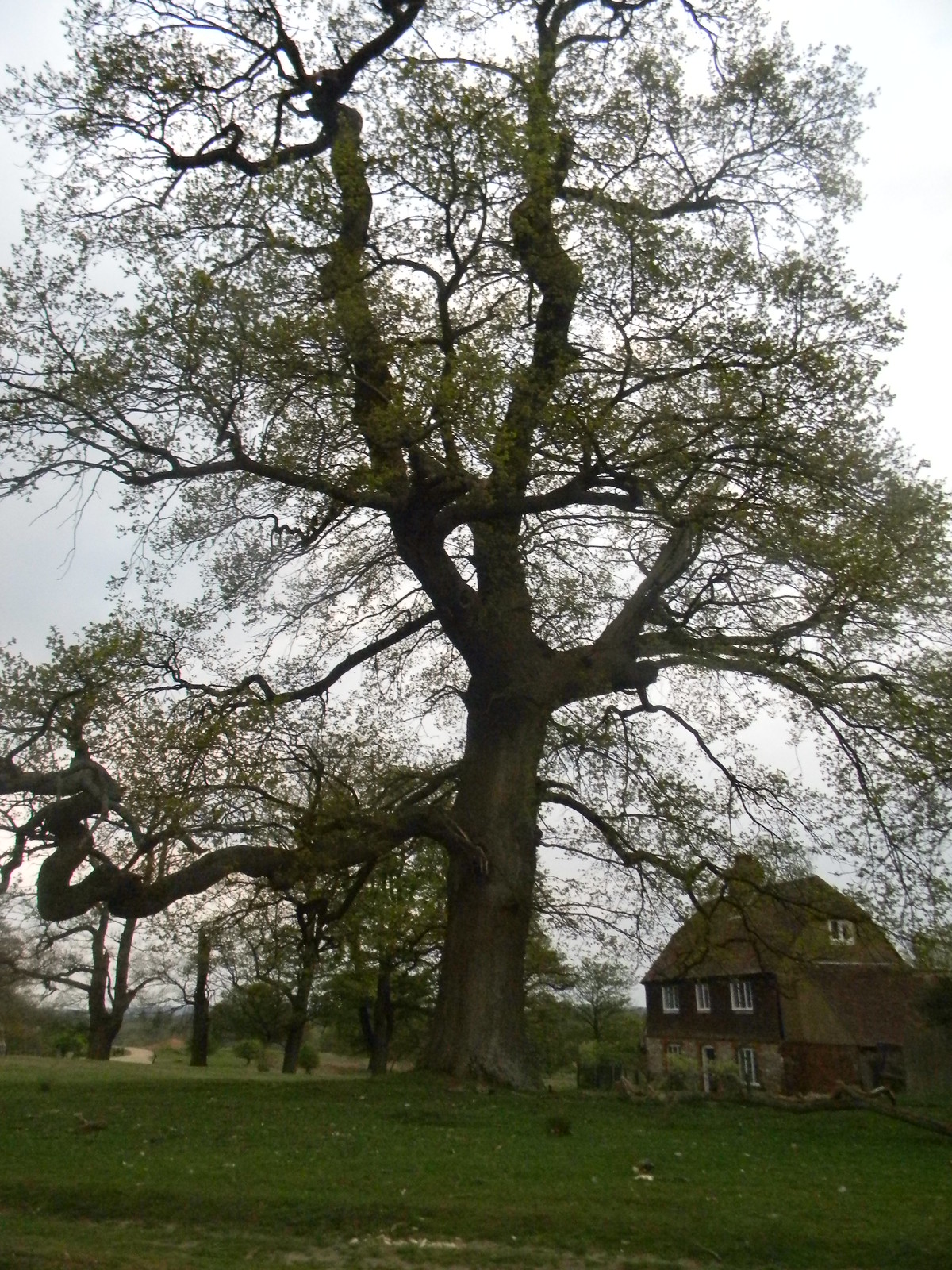 Big tree, Knole Park Yalding to Sevenoaks
