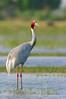 Sarus Crane by santanu nandy