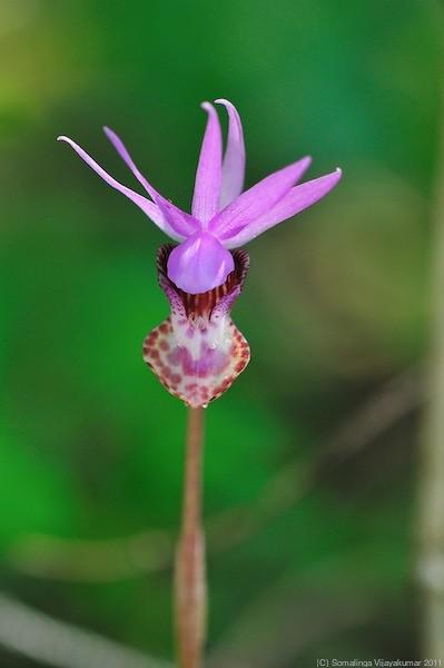 Calypso orchid #4