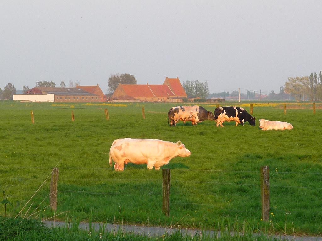 Belgische Kühe
