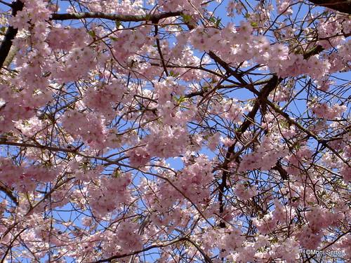 Blütendach - blossom sky | by catlovers
