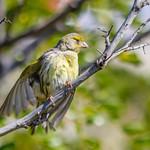 Island Canary (Serinus canaria)-4628.jpg