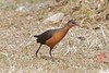 Rouget's Rail (Rougetius rougetii) by piazzi1969