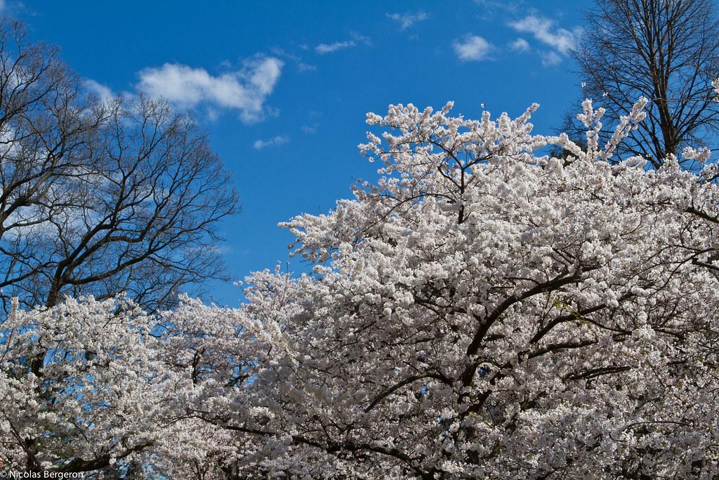 High Park - Cherry Blossom