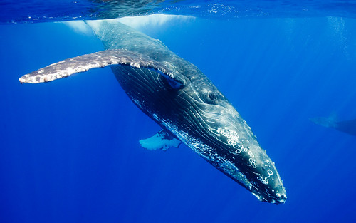 Humpback Whale Underwater | by bookemspooky