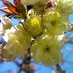 鬱金(うこん)桜、俗に黄桜と言う / Grandiflora