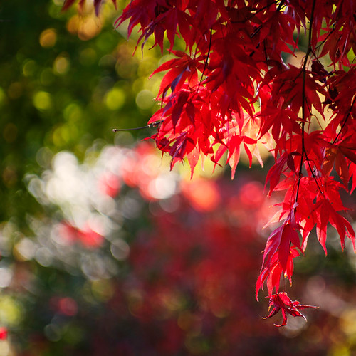 Maple Bokeh | by borealnz