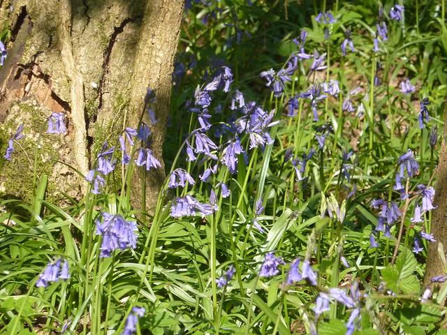 First bluebells. Priestley Wood