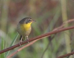 Common Yellowthroat, Myakka River SP, FL