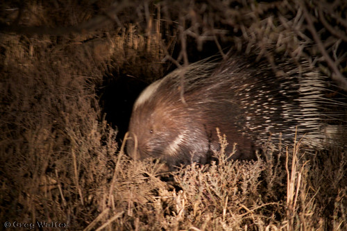 Porcupine   by Greggggie