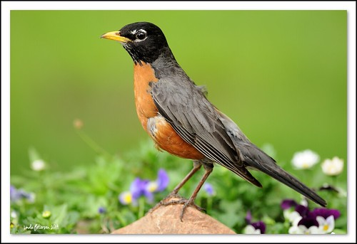 American Robin | by lindapp57