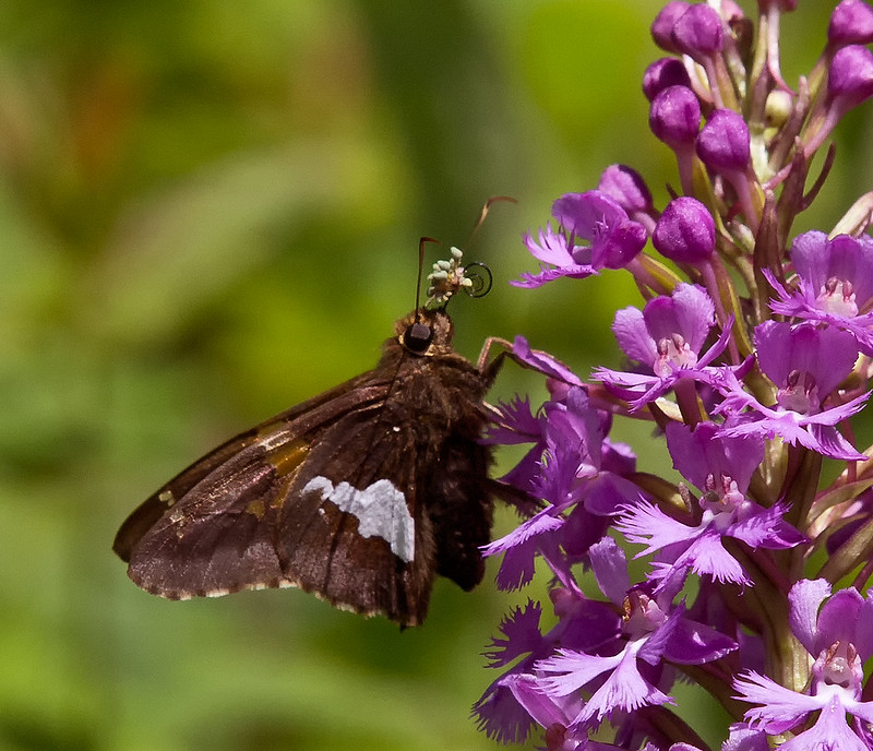 Silver spotted skipper pollinating a Small Purple Fringed orchid