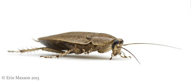 Belize cockroach 2
