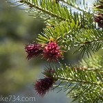 Douglas Fir new cones