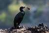 Pelagic Cormorant by Gregory Lis