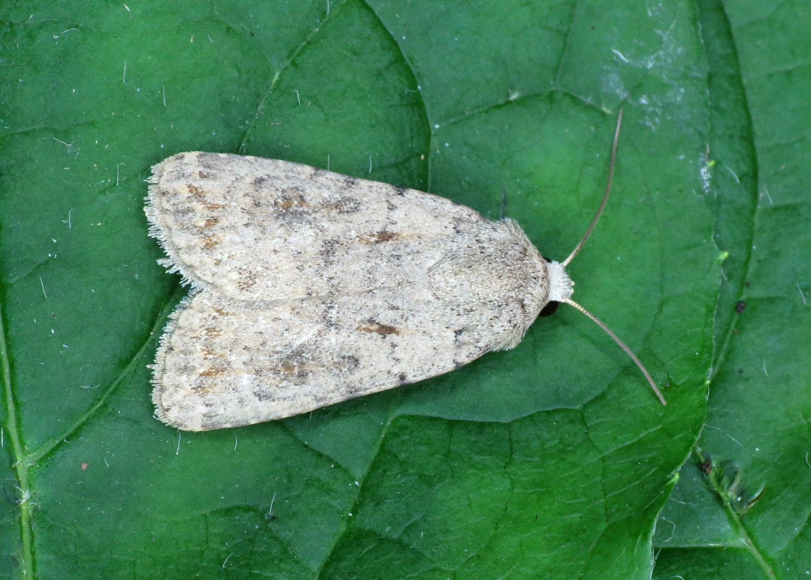 2389 Pale Mottled Willow - Caradrina clavipalpis