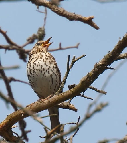 Taltrast / Song Thrush | by Stefan Berndtsson