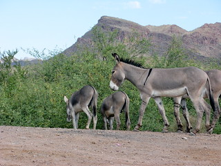 Wild Burros - Lake Pleasant | by Al_HikesAZ