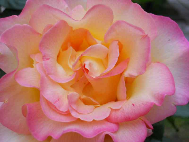 Rosa grandiflora 'Hippy' 3