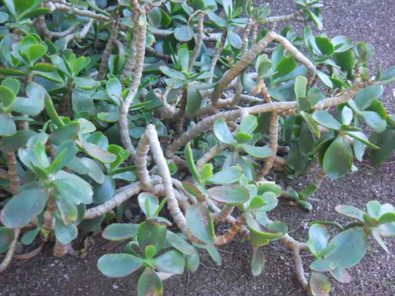 Cotyledon orbiculata 2
