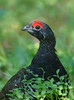Spruce Grouse by Wes Aslin