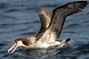 Short-tailed Albatross, Tori-shima, Japan by Terathopius