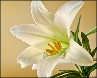 Easter Lily | by Mustang Joe