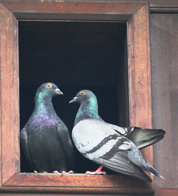 Lovely Doves visits me at Home