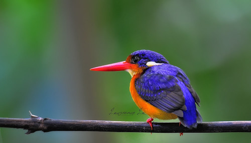 Variable dwarf kingfisher | by LawrenceLo2013