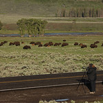Visitor watching bison in Lamar Valley