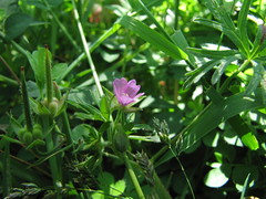Wildflower size of pencil eraser, Steelman Lake Sauvie Island