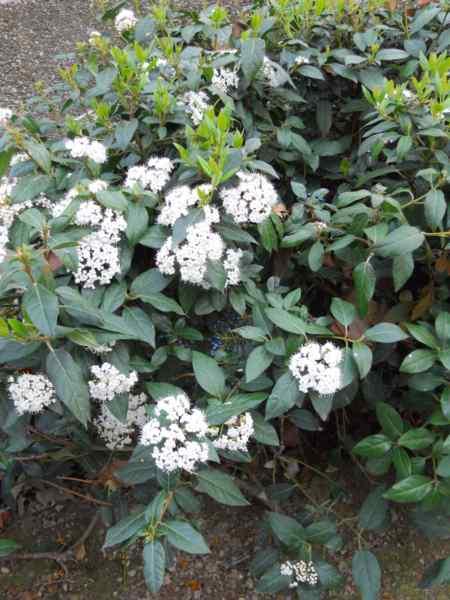 Viburnum tinus v 6