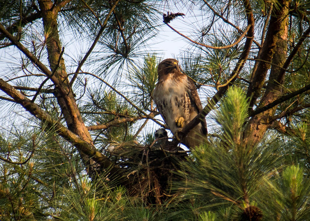Red Tailed Hawk and Young