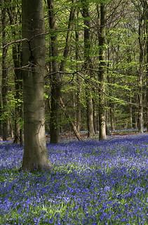 Bluebells in Rutland