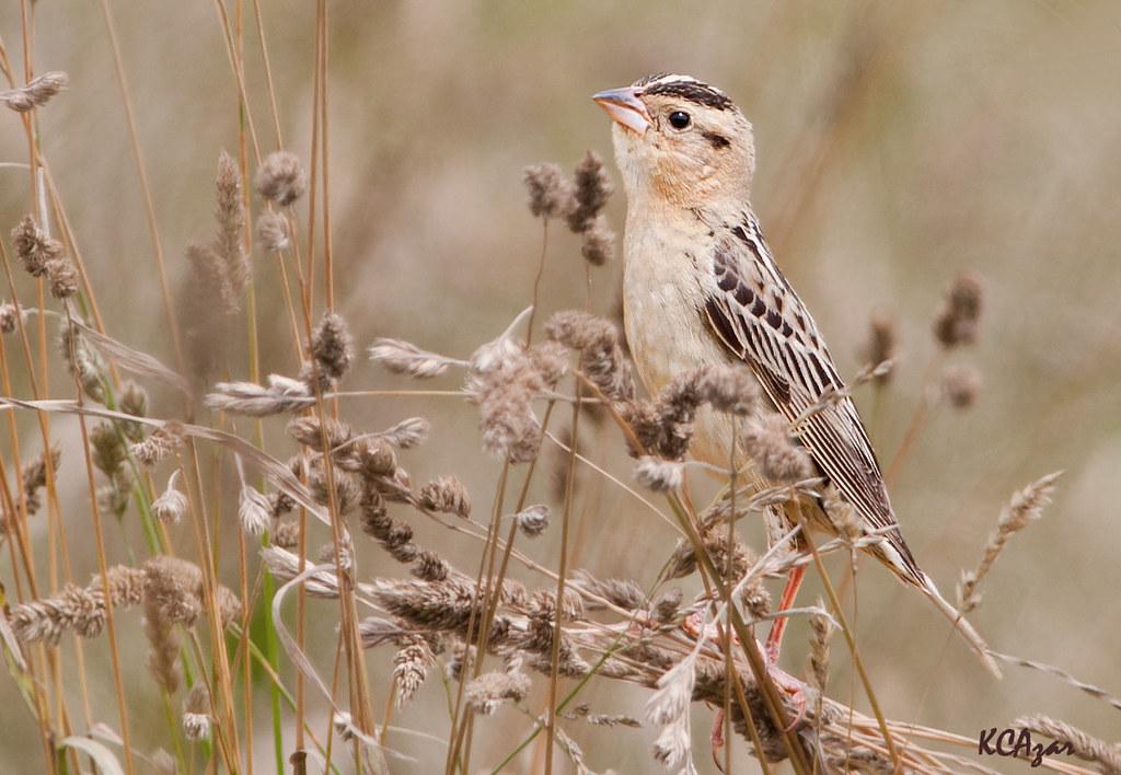 Bobolink, female | www allaboutbirds org/guide/bobolink/id