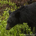 Black Bear stares down garbage truck