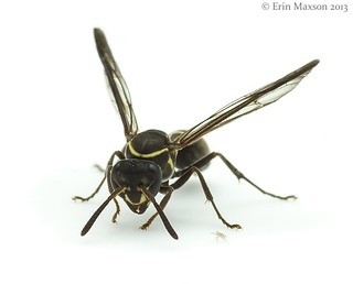 potter wasp and mite