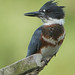 Flickr photo 'Belted Kingfisher (Female)' by: sydphi.