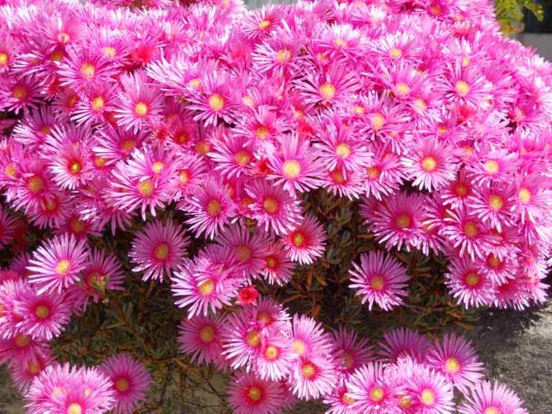 Lampranthus spectabilis 3